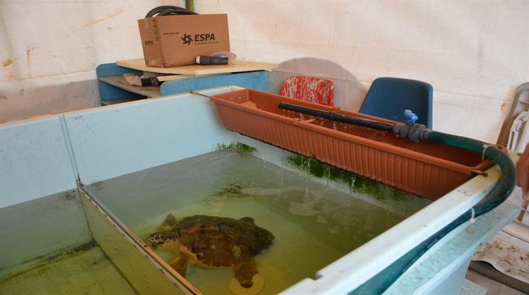 Numana citt delle tartarughe una caretta caretta per for Vasche x tartarughe