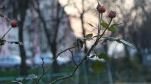 Un ramo di melo ornamentale al tramonto